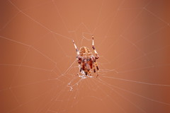 Spider in her web (photoplanet2007) Tags: nature animals spider wildlife bugs creepy invertebrate arachnology predatory cephalothorax prosoma jasonebrobst