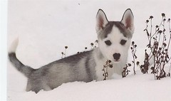 Larissa 8 wks (sponng) Tags: dog pet pets cute dogs puppy puppies husky mush huskies aww siberian mushing cannine sibe sibes