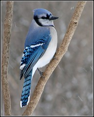 Blue Jay (Aegolius) Tags: blue bird jay bluejay bluejays bluebird jays cyanocittacristata winterbirds naturesfinest shirleysbay ottawawinter