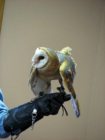 barn owl landing on the trainer's glove