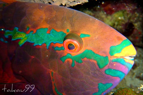 Sleeping Parrotfish on Similan Islands, Thailand