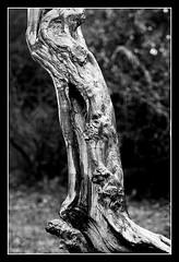 (sorin_ifrim) Tags: bw tree canon garden stump smrgsbord