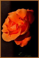 CADRAGEDSC_0625 (claudedelrieu21) Tags: fleur rose finest natures damncool masterclass naturesfinest blueribbonwinner amazingtalent amazingshot fantasticflower masterphotos ultimateshot infinestyle ysplix masterphoto overtheexcellence queenrose naturemasterclass macroflowerlovers excellentsflowers natureselegantshots