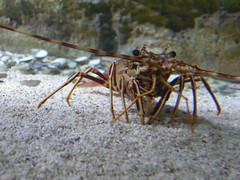 ris languszta - European spiny lobster (The Crow2) Tags: animal zoo hungary budapest panasonic lobster llat dmcfz30 rk llatkert languszta thecrow2