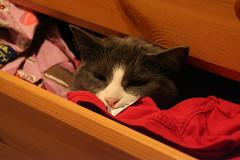Sleepy drawer cat