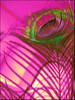 Pfauenfeder (sulamith.sallmann) Tags: pink berlin bird deutschland colorful feathers feather rosa struktur peacock structure colourful unscharf bunt pfau feder brillant textur glänzend animalisch schillernd federn peacocksfeather vogelfeder unschärfe tierisch pfauenfeder schimmern sulamithsallmann schillern vogelfedern