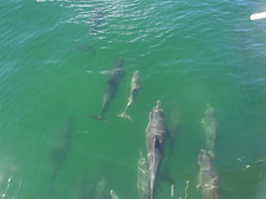 Dolphins just ahead of our boat
