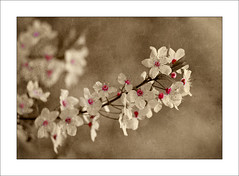 Cherry (Philipp Klinger Photography) Tags: pink white tree texture vintage cherry spring blossom antique coloring bloom selective colorkey firstquality colourkey infinestyle