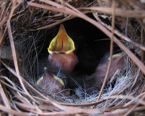 first shot of baby Carolina Wrens in weary Christmas wreath