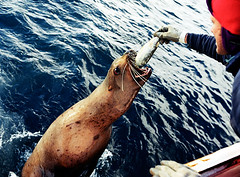 Sea_Lion_Feeding (coreyfishes) Tags: ocean sea snow color ice dutch weather alaska danger harbor photo fishing fisherman king arnold picture wave crab corey catch kingcrab discovery harsh beringsea crabbing rollo bering snowcrab opilio deadliest deadliestcatch coreyfishes