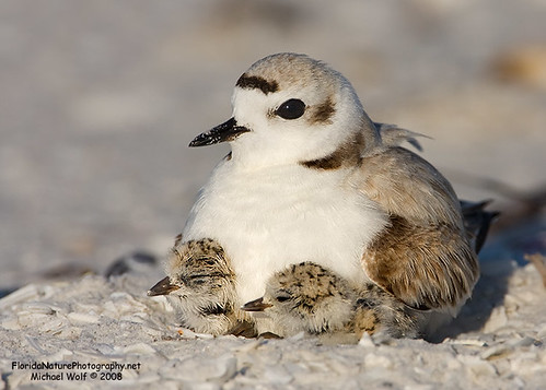 Snowy Plover and two Chicks 9657
