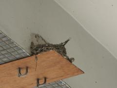 屋簷下的燕子