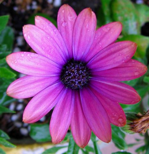 """Osteospermum """"Margarita del Cabo"""""""