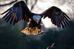 [フリー画像] [動物写真] [鳥類] [猛禽類] [鷲/ワシ] [ハクトウワシ]      [フリー素材]