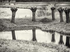 _2180302 Cropped Willows (idunavision) Tags: trees bäume willows weiden water wasser recflections reflektionen olympus leica