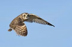 Short eared owl in flight. (Mel Diotte) Tags: short eared owl flight wild nature mel diotte explore eyes hunter raptor