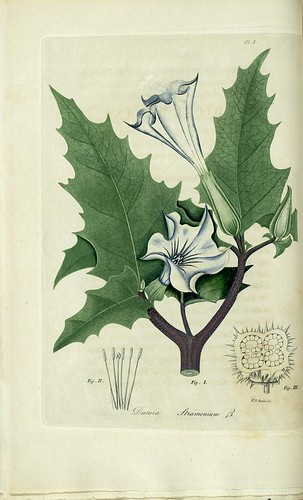 Datura stramonium, Thorn apple