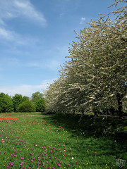 Kirschbäume und Tulpenwiese