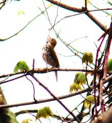 ovenbird singing