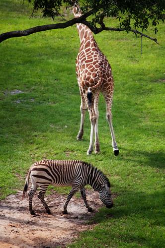 animals zebra & giraffe