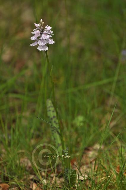 Dactylorhiza maculata I