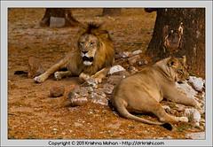 Asiatic Lions at Mysore  Zoo (drkrishi) Tags: india zoo asia lion karnataka mysore mammalia panthera carnivora pantheraleo asiaticlion felidae chordata pantheraleopersica mysorezoo srichamarajendrazoologicalgardens drkrishi drkrishicom leoleogoojratensis leoleopersicus