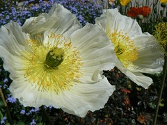 White Poppies (derjackrussell 4 2) Tags: white gardens poppies oamaru flickrsfantasticflowers