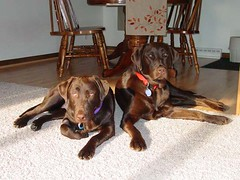 Chocolate Lab Girls