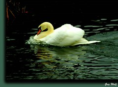 Swanning around... (Guy Wulf) Tags: nature swan searchthebest the mywinners abigfave perfectphotographer