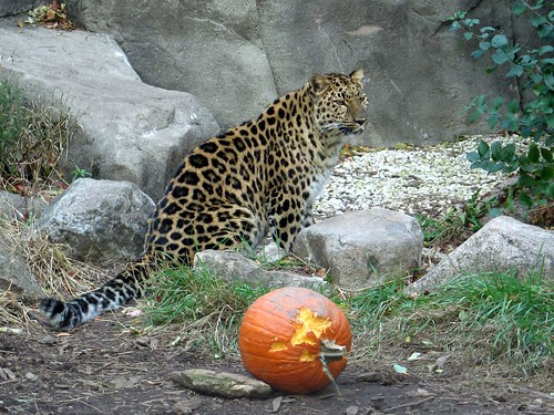 Even leopards enjoy Halloween. Or least the pumpkins.
