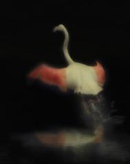 When She Walks She Moves So Fine Like A Flamingo (Peter Kurdulija) Tags: new pink newzealand white black reflection bird art water canon painting image walk flamingo wing like move powershot zealand droplet 1000 a710 kurdulija theunforgettablepictures