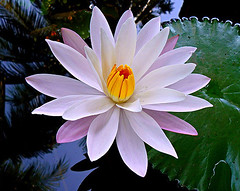waterlily (tropicaLiving - Jessy Eykendorp) Tags: bali flower macro nature closeup indonesia geotagged photography bravo asia waterlily panoramic excellence candidasa karangasem magicdonkey instantfave gl abigfave diamondclassphotographer flickrdiamond ysplix tropicaliving excellentsflowers tropicalivingtropicallivingtropicalliving panasoniclumixdmcfz8panasoniclumixdmcfz8 jessyce geo:lon=115157318 geo:lat=8817225