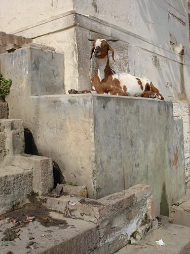 goatsleep