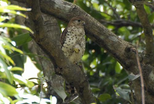 Mauritius Kestrel by pinebird.