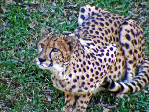 Attentive Cheetah