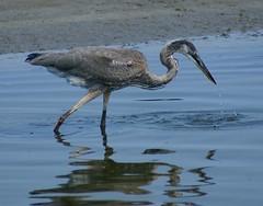 Heron Fishing (the raincrow) Tags: nature birds virginia wildlife waterfowl chesapeakebay bestnaturetnc07