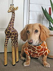 Giraffes (Doxieone) Tags: dog cute english fall halloween costume video interestingness long cream dachshund explore honey blonde exploreinterestingness giraffe haired dressed mostpopular coll ggg 1002 longhaired honeydog explored golddragon englishcream diamondclassphotographer ultrakawaii honeyset fallhalloween200672008set