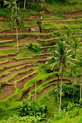 Terrace (r_riyadi) Tags: bali nature landscape rice coconut plantation fields ubud
