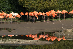 Jamaican Flamingos (Anthony Dixon Photography) Tags: pink nature catchycolors flamingos gloucestershire slimbridge nikond200 sigma70200mmf28exdg aplusphoto