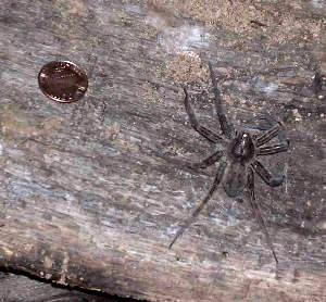 Northeastern Pennsylvania Spiders http://redravine.wordpress.com/2008/03/21/big-spider-haiku/