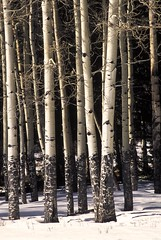 Aspen Trunks 2A, Rocky Mountain National Park, Colorado (sethgoldstein72) Tags: 1 level excellent hwa bestofflickr fairplay finegold photohobby addictedtoflickr forgottentreasures naturespower kartpostal agradephoto amomentarylapseofreason bforbeauty worldclassimage aclassgroup platinumstar flickridol myfavoriteforestphoto flickrestrellas ~nature fundamentalfantasticphotography quarzoespecial thebeautyoftrees qualitypixels nikonflickraward doubledragonawards thedailypost superbestshotsonflickr alberoefogliatreeandleaf freedomhawkaward elclickdenikon absolutelyperrrfect bestoriginalshooting flickrsgottalent poppyawards flickrtravelaward hellofriend lepouvoirdelanature qualifiedmembersonlylevel1 thethreeangelslevel1blueangel qualifiedmembersonlylevel2 flickriansfreeforall ~adorableshot~ ineedatree wwtravelogue flickrstruereflection1 fivegoldstarslevel1 crownphotographylevel1