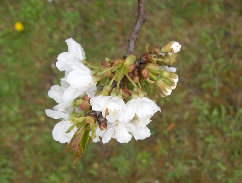 Fleurs de cerisier & sol pelousé, 2 avril 2008