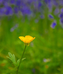 Monet eat your heart out..lol..:O))) (law_keven) Tags: flowers fab england london nature bluebells spring buttercup richmond blooms supershot explore500 ricmondpark abigfave platinumphoto anawesomeshot goldstaraward photoexel