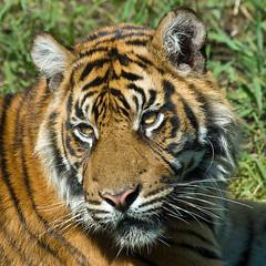 tiger portrait (iPhotograph) Tags: animal zoo stuttgart tiger d200 sumatrantiger wilhelma pantheratigris naturesfinest 70200mmf28gvr 500x500 tc17eii pantheratigrissumatrae mywinners impressedbeauty empyreananimals