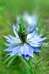 Love in a mist (shinichiro*) Tags: macro japan nikon order sold getty 2008 crazyshin d3 rf aroundhome blueribbonwinner 60micro diamondclassphotographer macroflowerlovers ds11161 2009separt 2009separt01 90104705 order500 2010sold order20101106 201101sold 2011sold 201010sold 2012sold 201203sold