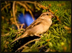 House Sparrow / Moineau domestique (unonymous) Tags: nature birds outdoors