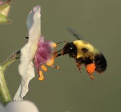 Bee Working (DrPhotoMoto) Tags: bee richmondcounty superaplus aplusphoto fabulousflowers buzznbugs