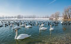 lake Zajarki (095) (Vlado Ferenčić) Tags: winter lakes lakezajarki swans birds zajarki zaprešić croatia hrvatska swansfamily nikond600 nikkor173528 animals animalplanet