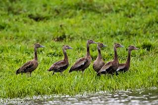 Black-bellied whistling-duck, juvenile