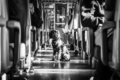 On the train (voxpepoli) Tags: bw worldinblackwhite streetlife blackwhite dog train monochrome people travel urbanlife dogs dogsdays leica animal trains vanishingpoint trip